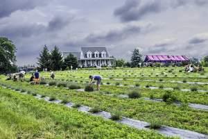 Seven Oaks Lavendar Farm Middleburg VA